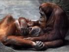 orangutana Orangutana arma reperpero en zoológico de EE.UU