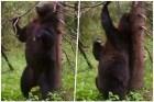 oso-baile-sexy