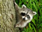 mapache Medio Ambiente ordena incautar mapaches