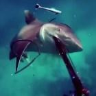 tibu Tipo se salva a tablita de ataque de tiburón