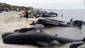 ballenas Cientos de ballenas mueren en una playa