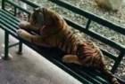 tigre-peluche