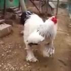 gallo El último bochinche en las redes sociales