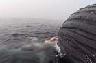 tiburc3b3n en california Video   Tiburón jartándose ballena muerta en California