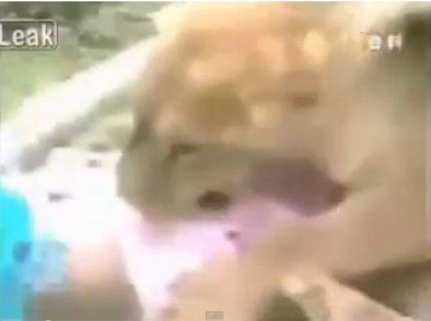 """leona Video   Rescatan """"a palos"""" una niña de la boca de un león [China]"""