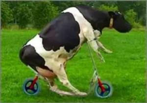 vaca-loca