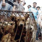 festival chino de carne de perro 150x150 Inicia polémico festival de carne de perro en China