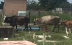 vacas cementerio 150x94 Video: Vacas se alimentan con yerbas de cementerio