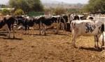 vacas ganado 150x88 Preocupante – Gran deficiencia en la producción de leche en RD