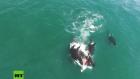 Orcas 300x169 Video aéreo: Un coro de orcas atacan ballena gigante de 30 pies