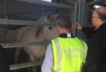 caballo 150x103 Desbaratan red que vendía carne de caballo en España