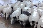 conejos 150x100 Er' juidero! – Así se salvaron estos conejos de las inundaciones en Nueva Zelanda