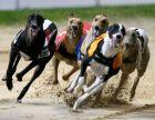 galgos 300x231 Florida y las carreras de perros Galgos