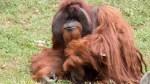 Chantek 150x84 Muere famoso orangután que se comunicaba con lenguaje de señas