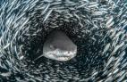 Tiburones 300x195 Increíbles fotos de tiburones arropaos de peces
