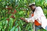 cafe 150x100 Analizan impacto del cambio climático en el café dominicano