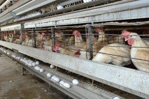 pollo huevos 300x200 Arroz, pollo, huevo, plátano, pan y leche: temas de seguridad nacional