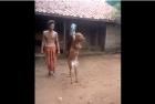 Vaca caminando con dos patas 300x201 Video: Vaca caminando con dos patas