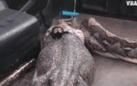 serpiente 200x126 Video: Atrapan pitón y vomita tremendo lagarto