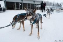 这些狗狗感觉非常瘦弱,不像某家的哈士奇那么健壮多长毛,这群狗刚拉完一拨,头上身上满是积雪,看起来让人心疼不忍心坐雪橇。