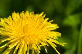 蒲公英的花