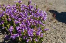 Johnston Ridge 上这种野花已经盛开,一小丛一小丛,非常可爱。