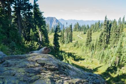 这只 marmot 看起来挺肥硕的,慵懒的趴在石头上看着路过的爬山客