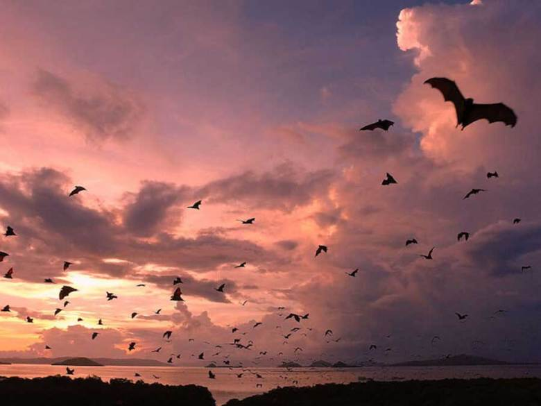 komodo flying foxes kalong island