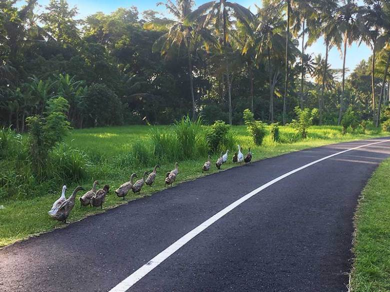 A road with ducks in Bali