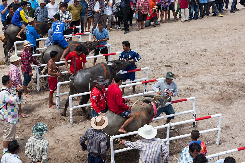 Buffalo 51 - HOLY COW: A Day at Chuhonburi Buffalo Races