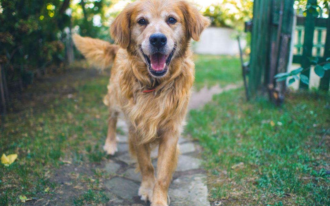 happy dog walking toward viewer in front yard. Photo by Berkay Gumustekin on Unsplash