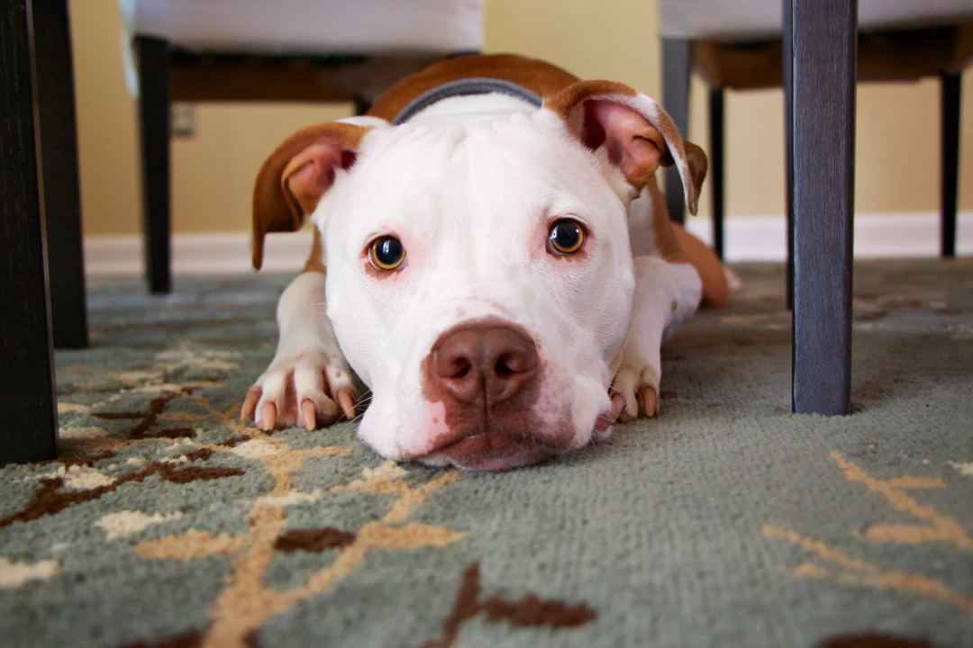 a pitbull lays under a dining room table, looking directly at the viewer. Photo by Mike Burke on Unsplash