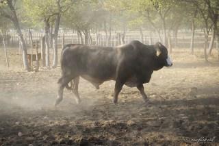 King of the kraal. Outjo, Namibia.