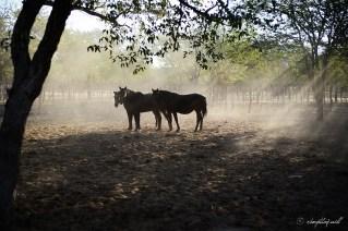 Horses. Outjo, Namibia.