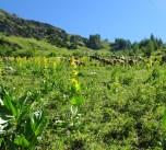 Das Alpvieh geniesst den Gelben Enzian (eine Heilpfanze, aus welche auch Schnaps erzeugt wird - habe ich gehört...)