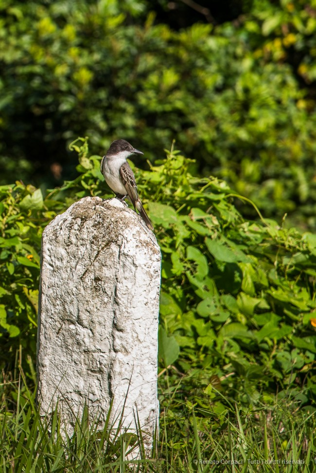 "Still on road 152: Grey Kingbird (Tyrannus dominicensis). Nikon D810, 120 mm (24-120.0 ƒ/4) 1/200"" ƒ/7.1 ISO 125"