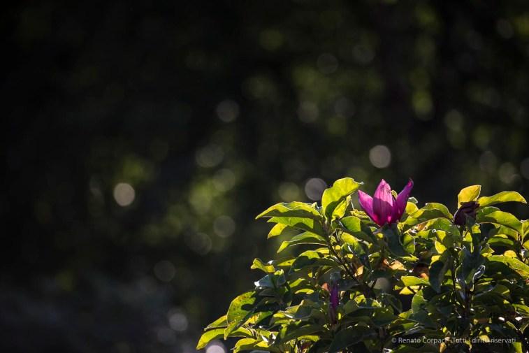 "Infiorescenza estiva di una magnolia. Nikon D750, 400 mm (80-400 ƒ/4.5-5.6) 1/160"" ƒ/6.3 ISO 100"