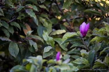 "Infiorescenza estiva di una magnolia. Nikon D810, 600 mm (Sigma 150-600 ƒ/5-6.3) 1/8"" ƒ/6.3 ISO 64"