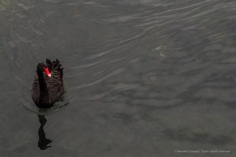 A black swan in Villeneuve Loubet. January 2016. Nikon D810, 120 mm (24-120,0 mm ƒ/4) 1/250″ ƒ/5.6 ISO 800
