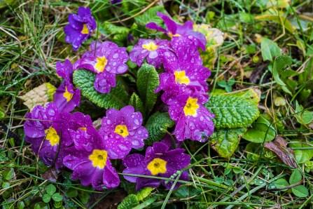 Primule. Sirtori, primavera 2015 - Nikon D810, 60mm (60mm ƒ/2.8) 0.8sec ƒ/11 ISO 64