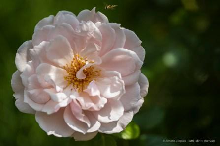 English Rose by David Austin Roses. Nikpn D810, 105 mm (105.0 mm ƒ/2.8) 1/1000 ƒ/3 ISO 64