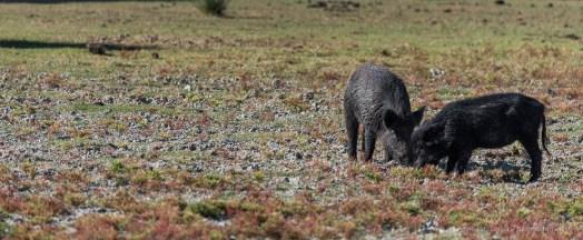 """Wild boars pasturing in las Marismas. Nikon D750, 400 mm (80-400 mm ƒ/4.5-5.6) 1/1600"""" ƒ/6.3 ISO 400"""