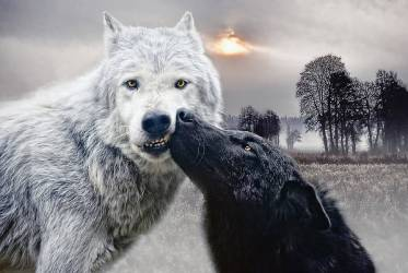 Mystical Wolf Photographs Fine Art America