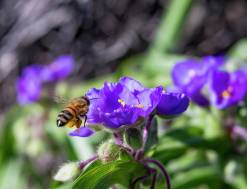 Honey Bee Flying onto Spiderwort Flower Photograph by Barbara Rogers