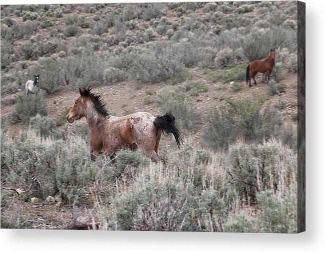 Mustangs Acrylic Print featuring the photograph Nevada Mustangs by Maria Jansson