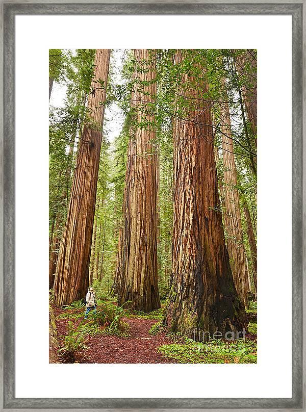 Redwood Trees Framed Art Prints Fine Art America