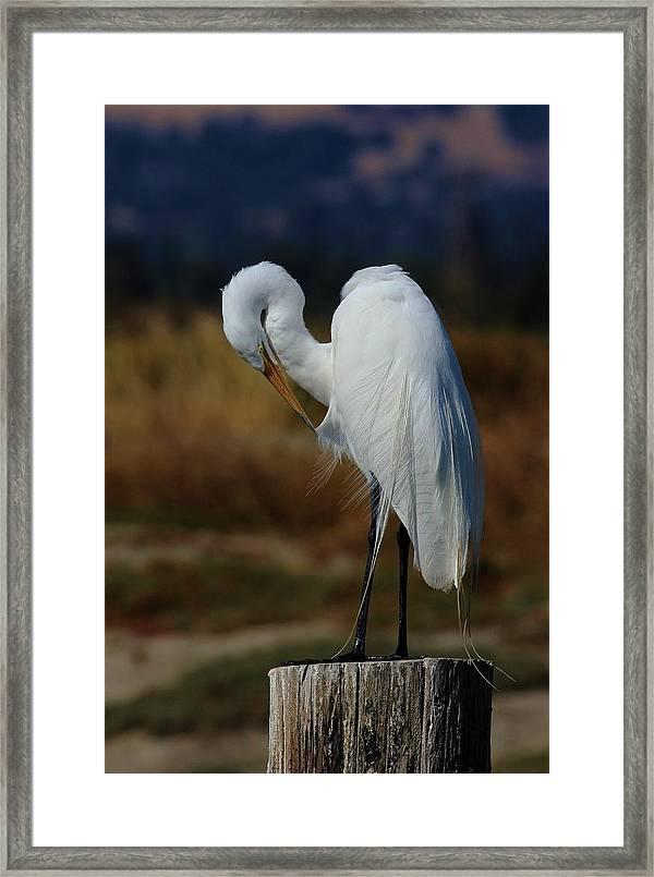 Great Egret Framed Print By Elka Lange