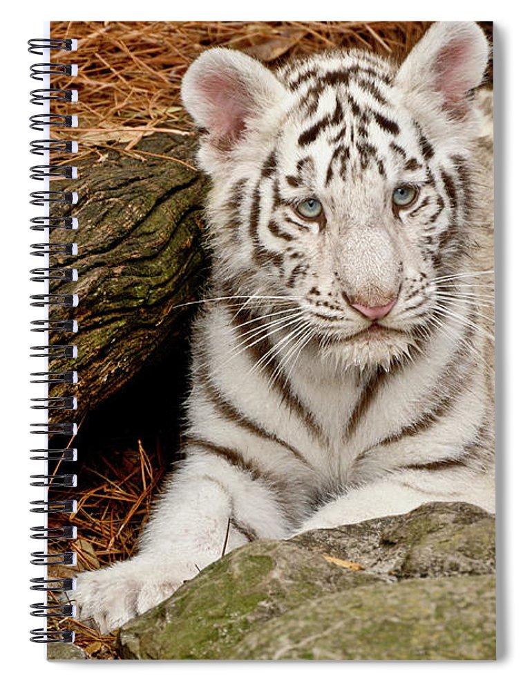 White Tiger For Sale : white, tiger, White, Tiger, Spiral, Notebook, Empphotography