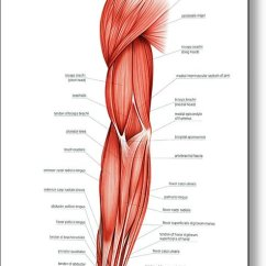 Upper Arm Muscles Diagram Wiring A Xpelair Fan Of Right Metal Print By Asklepios Medical Atlas Anatomy Featuring The Photograph
