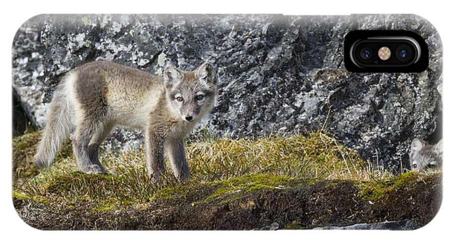 arctic fox pup iphone